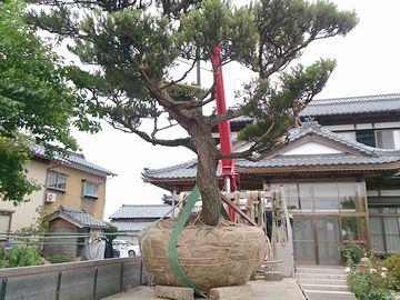 新潟県内のお宅でのアカマツの移植風景