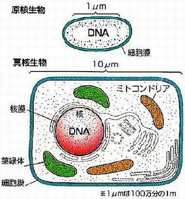 細菌と酵母は、全く異なる生物と言えるわけね