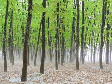 『美人林(びじんばやし)』。残雪の中の芽吹きです。
