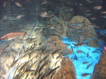 『男鹿水族館GAO』ハタハタだけが泳ぐ水槽