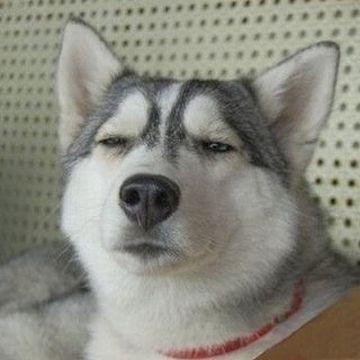やる気を削がれたハスキー犬