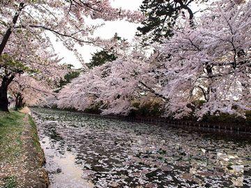 弘前城のサクラは、全国的に有名だよな