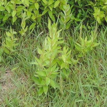 クマザサなどと比べて、葉の幅が広い