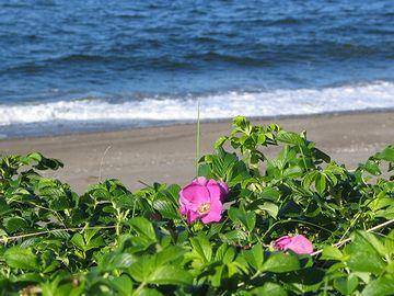 オホーツク海とハマナス。海が似合う花です。