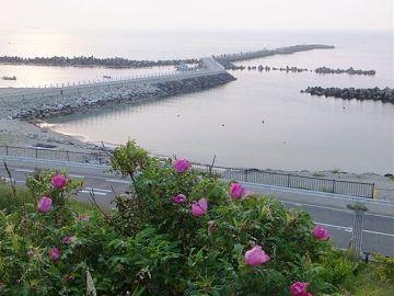 新潟海岸に咲くハマナス。夕暮れのようです。写真の載ってる日付は、5月26日でした。