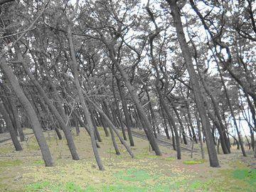 新潟砂丘を覆う松林も、クロマツ