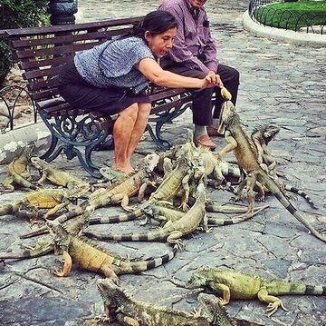 鳩ではなく……。イグアナです。