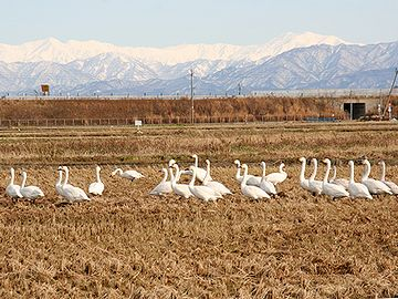 ビッグスワンの周りでは、白鳥が落ち穂を拾ってる