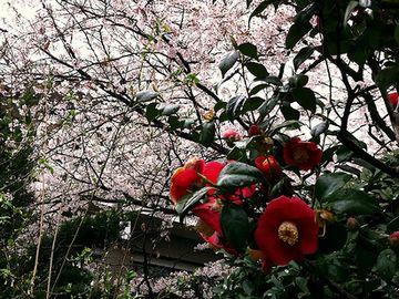 花の時期が、サクラと重なっちゃうんだよ