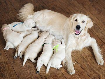 犬は多産で安産