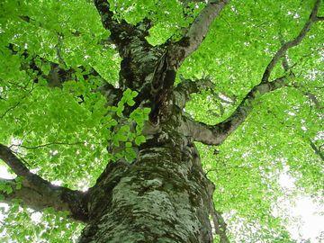 """""""マザーツリー""""と呼ばれる巨木。樹齢400年。"""