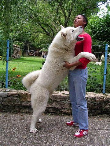 秋田犬のデカさがわかります
