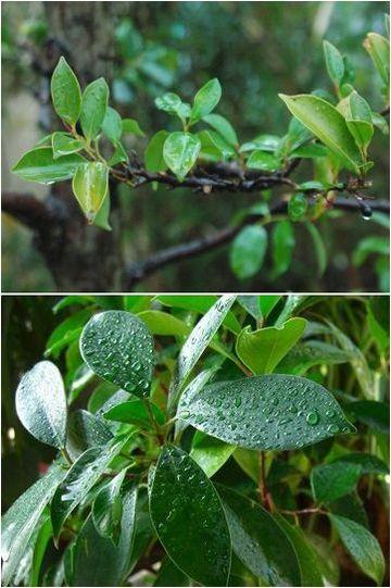 榊の葉・ガジュマルの葉