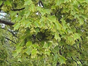 トウカエデの葉に似てます