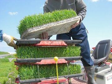マット状の苗を、田植機にセットする作業