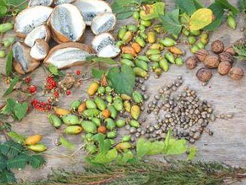 木の実を拾った