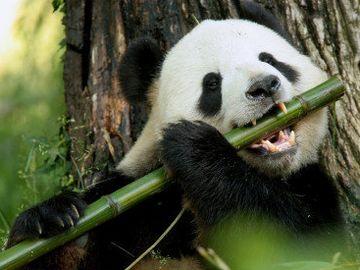 竹なんか、噛めないではないか