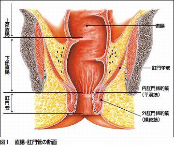 消化器の末端にあるのが、ご存知、直腸ね