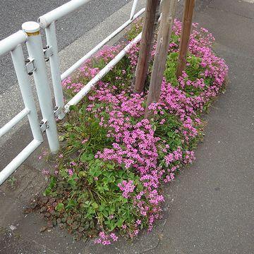 ピンク色の花が咲いてました