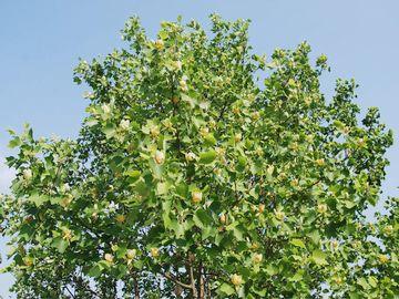 非常に大木になる樹木