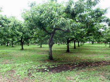 """""""栗林""""という苗字があるくらいですから、栗を栽培するシステムは、昔からあったのでしょう"""