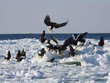 知床に群れる大鷲。北の海は豊かです。