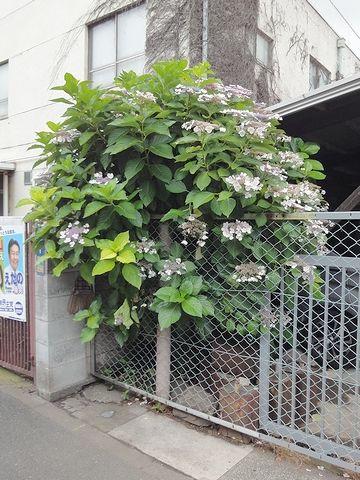 ガクアジサイが咲いてました