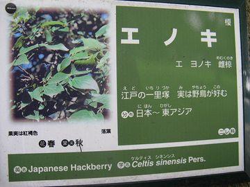 エノキは、元もと東南アジアにも分布する樹木です