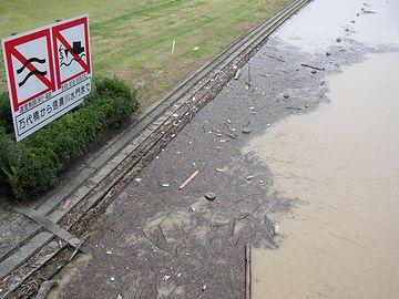 信濃川・看板下の植え込みは、泥を被ってません