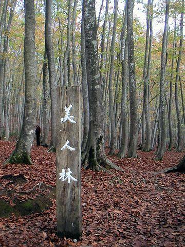 新潟には、その名も『美人林』という有名なブナ林がある