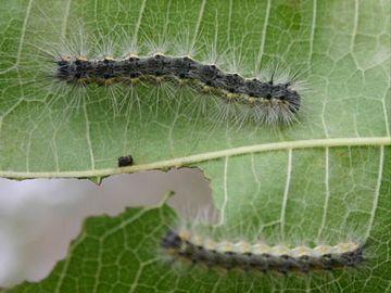 「アメリカシロヒトリ」幼虫