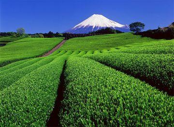 静岡の人は、必ず自宅にMy茶畑を持ってるの