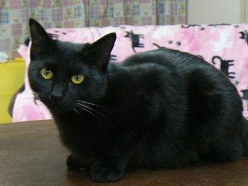 綺麗なメスの黒猫だった