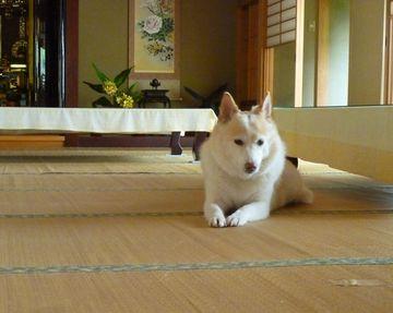 やはり、和犬には和室が似合います