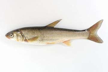 ウグイです。フツーの魚としか言いようがありません。