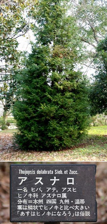 アスナロは、ヒノキ科の針葉樹です