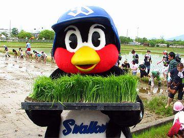 燕市で田植えを手伝う『つば九郎』