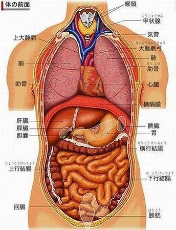 この部分が、横行結腸