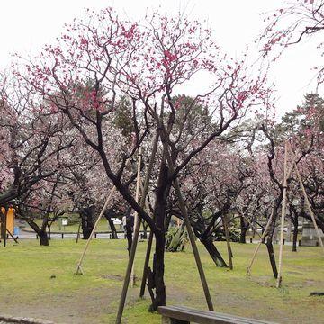 白山神社は、梅が7分咲き