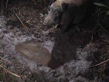野生の猪なんかが、泥浴びをする場所のことです