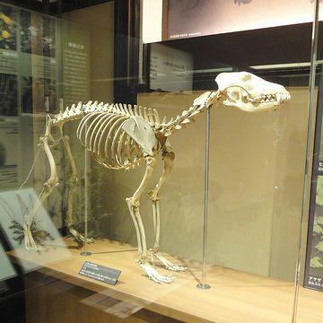 これは、ニホンオオカミの骨
