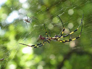 うちの2階のトイレの庇に、毎秋、女郎蜘蛛が巣食うんです