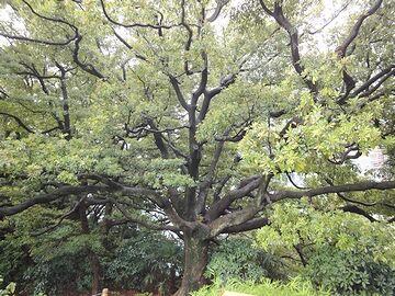 頭上を覆う大木