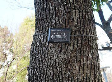 スノキが街路樹に使われてます