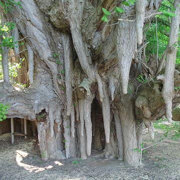 『北金ヶ沢』のイチョウは、『垂乳根(たらちね)のイチョウ』と呼ばれてます