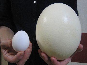 右は恐竜の卵、ではなく、ダチョウの卵