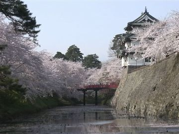 弘前城。桜の花びらが、堀を埋め尽くすそうです。