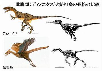 始祖鳥の骨格は、獣脚類とそっくりだそうです