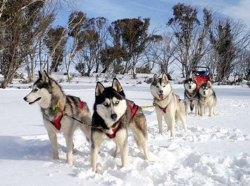 この犬は、名前のとおり、シベリアが故郷