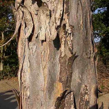 大きくなると樹皮が剥がれてくる